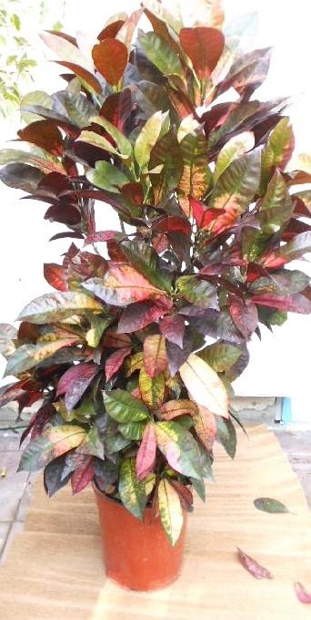 Codiaeum variegatum (Kroton )