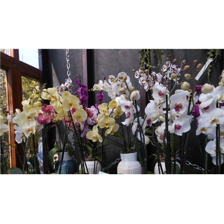 Phalaenopsis (Orkide)